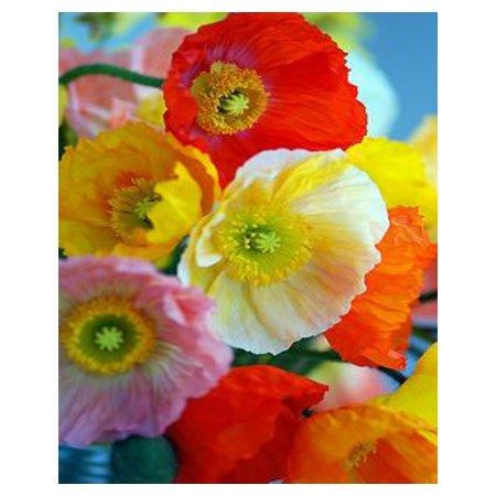 RARE 24 couleurs mélangées pavot délicat graines pétales de fleurs en pot plantes bonsaï bricolage maison de jardin cour 200PCS graines de pavot