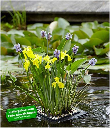 BALDUR-Garten Schwimmring-Set Hechtkraut, Acorus, Iris, 1 Set Wasserpflanzen für den Gartenteich