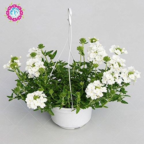 graines 100pcs Verveine seeds.Verbena HORTENSIS, graines de bonsaï rares fleurs Hanging plantes balcon intérieur fleurs pour le jardin de la maison 4
