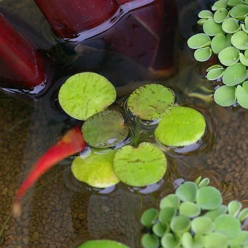 (ビオトープ)水辺植物 ドワーフフロッグビット(無農薬)5株 (休眠株)