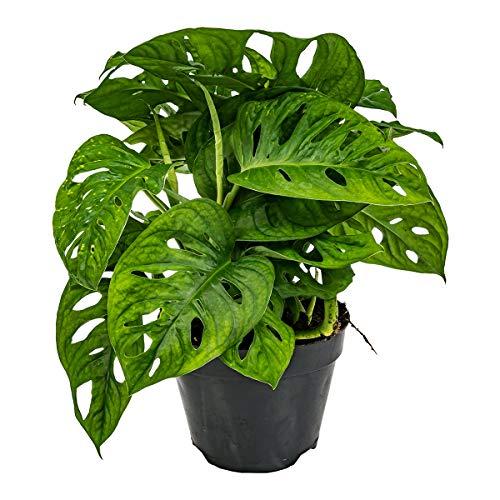 Lochpflanze | Monstera 'Monkey Leaf' pro Stück - Zimmerpflanze im Aufzuchttopf ⌀12 cm - 30 cm