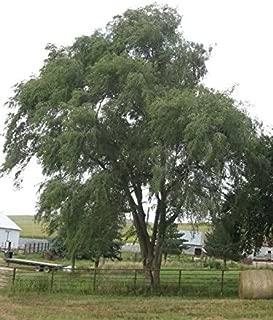 chinese elm hedge