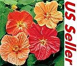 Portal Cool Semi di 50 Pz, Semi Abutilon G55 di Colore Misto, Fiore Perenne da Giardino