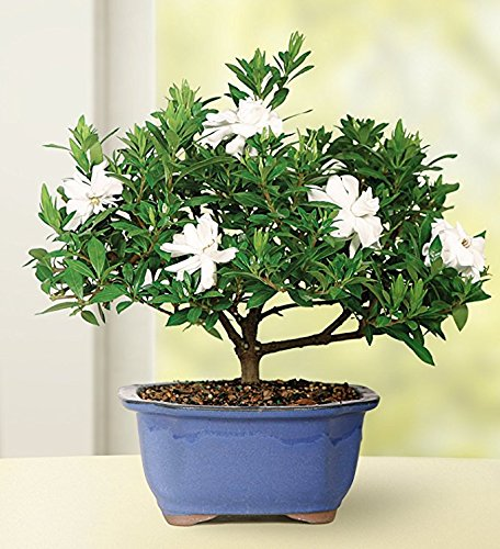 Brussel's Live Gardenia Outdoor Bonsai Tree - 4 Years Old; 6' to 8' Tall with Decorative Container