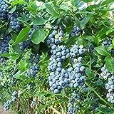 Planta Flor Vegetal Fruta Semillas De Árbol 30pcs/Bag Semillas De Arándano Templado Tolerancia A La Sequía Azul Oscuro Excelente Producción De Semillas De Frutas Para Jardín - Semillas De Arándano