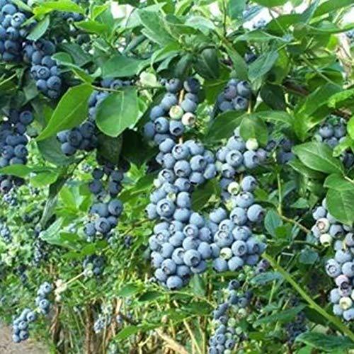 Blueberry Seeds, 30Pcs / Bag Blueberry Seeds gemäßigtem Klima Trockenheitstoleranz Dark Blue Ausgezeichnete Producing Fruchtsamen für Garten