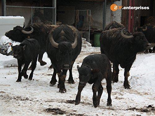 300 Büffel beim Après-Ski