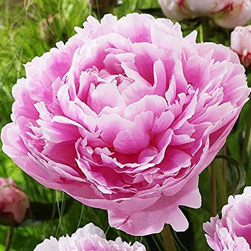 Pfingstrose Pfingstrosen rosa Garten...