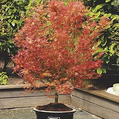 Acer palmatum'Wilson's Pink Dwarf' | Japanese Maple Tree | Ornemental schrub | Height 50-60cm | Pot Ø 19cm