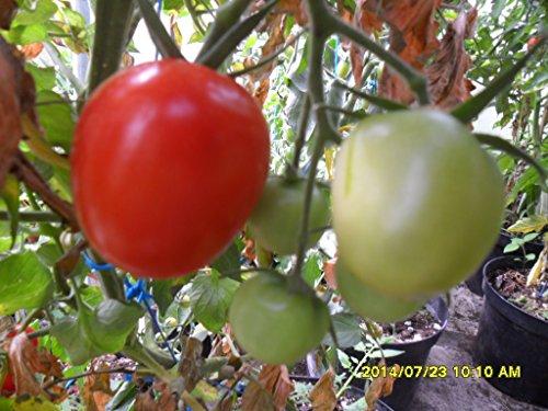 Ungarische Mini-Ochsenherz Tomate, von unserer ungarischen Farm samenfest, nur organische Dünger, KEINE Pesztizide, BIO hu-öko-01