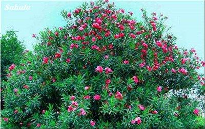 150 Pcs Nerium Graines Oleander plantes en pot semencier japonais Jardin Décoration Bloom Graine Facile à cultiver purifient l'air 13