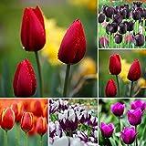 Benoon Graines De Tulipe, 50pcs / Sac De Graines De Tulipe Graines De Bonsaï Polyvalentes Parfumées Accrocheuses...