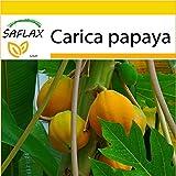 SAFLAX - Set de cultivo - Papaya - 30 semillas - Con mini-invernadero, sustrato de cultivo y 2 maceteros - Carica papaya