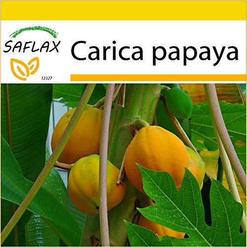 SAFLAX - Anzucht Set - Tropischer Melonenbaum/Papaya - 30 Samen - Mit Mini-Gewächshaus, Anzuchtsubstrat und 2 Töpfen - Carica papaya