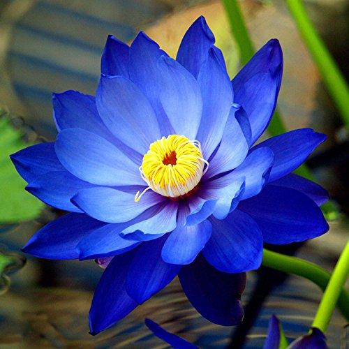 Bonsai Lotus / Wasser Lily Blume Bowl-Pond 5 Frische Samen / Saphir Lotus