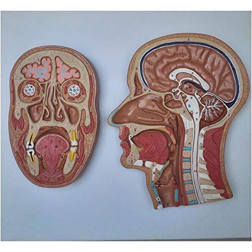LBYLYH Human Skull Cutaway Model - Skull Model Anatomical Head Medians Sagittal Level Model - for Display Teaching Medical Model