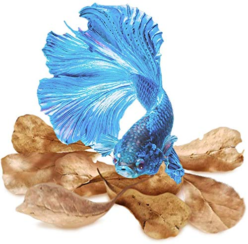 SunGrow Large Catappa Indian Almond Leaves for Betta, 7-8 Inches, Promotes Breeding, Lowers Your Tank's pH, Decreases Stress in Fish, Shrimp, and Frogs, Improves Habitat, Unique Decoration, 10 Pack