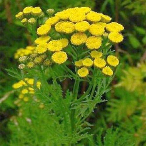 500 Seeds Tansy E200 - (Tanacetum Vulgare) - US...