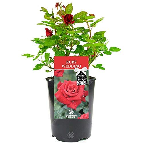 Ruby Wedding Rose - 40th Wedding Anniversary Gift - Help Celebrate a Special Couple's Ruby Wedding Anniversary with a Unique Living Plant Gift