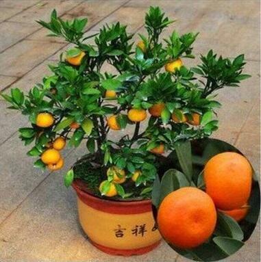 Golden Delicious orange semences Mini Potted arbres fruitiers Graines Bonsai Intéressant planter 50 particules/lot 6