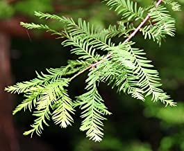 Bald Cypress - Taxodium Distichum - Bonsai or Outdoor - Quart Pot