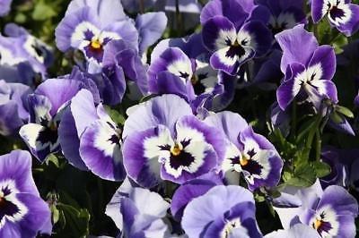 50 graines de Joker Light Blue Pansy Seeds