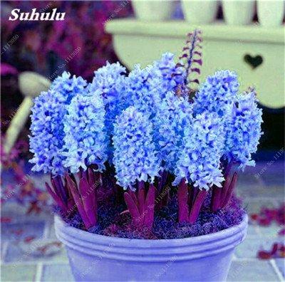 Livraison gratuite Parfum Pas Cher Graines jacinthe, plantes en pot purifient l'air, PC de bureau Décor-100 Pcs Hyacinthus Orientalis Seed 14