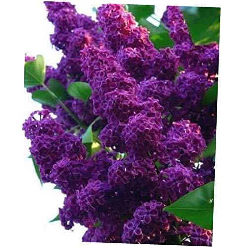 25 Seeds Dark Purple Lilac Tree Fragrant Hardy Perennial Flower Shrub Garden