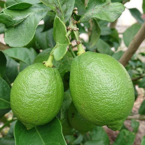 中島みかん農園『レモン ワケあり1kg』