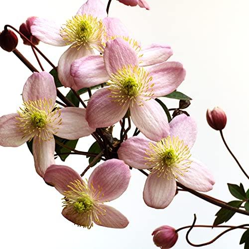 Hayloft Clematis Montana Rubens   Hardy Perennial  Climbing Plants  Pink Flowers   1 x 7cm Pot