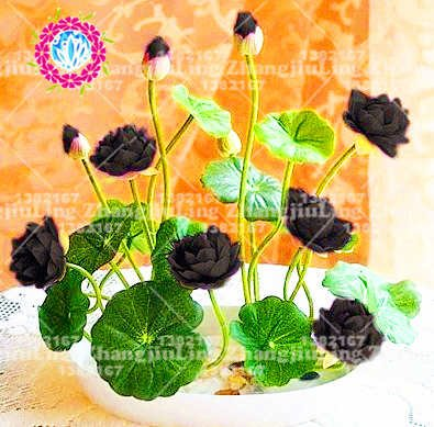 5pcs / bolsa de semillas de loto flor de loto Plantas acuáticas b loto semillas de nenúfar perenne planta para el jardín de 8