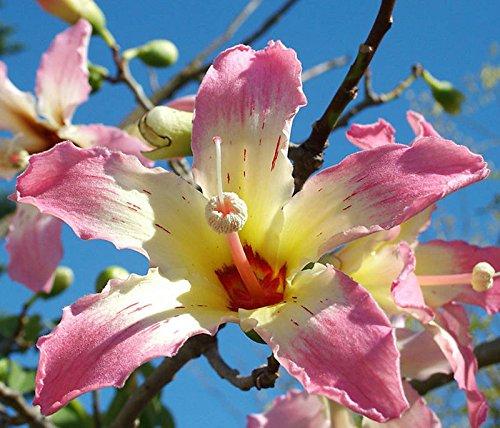 Chorisia speciosa exotische blühende Baum Seide Seide Flasche Kapok seed 10 Samen