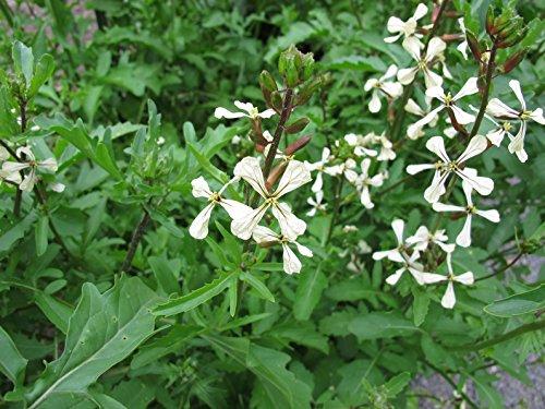 Italienische Rauke Eruca sativa (Rucola coltivata) 2000 Samen