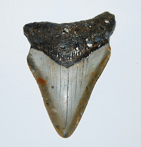MEGALODON TOOTH Fossil SHARK 2.901 inches - Up to 25 Million Years Old #1516 5o