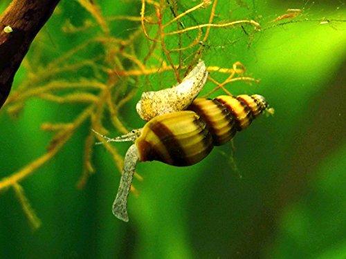 Aquatic Arts 3 Live Assassin Snails/Clea Helena | Pest Snail Remover/Pond Snail...