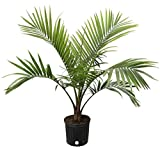 Costa Farms Majesty Palm Tree, Live Indoor Plant, 3 to 4-Feet Tall,...