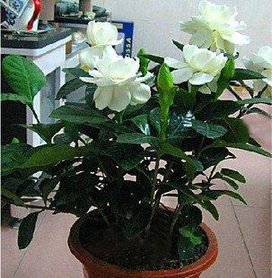 20 graines / Paquet riches floraux graines de Gardenia fleur mignon pivoine EVERGREEN pots de fleurs jardinières