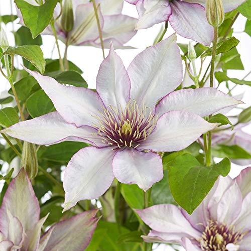 Potted Hardy Plant Clematis, Easy to Grow Climbing Plant, Large Dusky White Flowers in Summer, Gardens & Patios, 1 x Clematis 'Samaritan Jo' Plant in a 3 Litre Pot by Thompson & Morgan