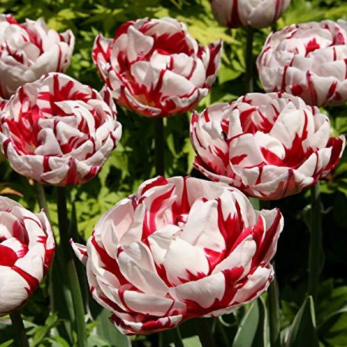 Qulista Samenhaus - 50/20pcs Rarität Gefüllte Tulpen Carnaval de Nice, rot-weiß gestreifte Blüten, super Fernwirkung, Blumensamen winterhart mehrjährig für Blumenbeete und Rabatte