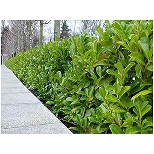 25 Cherry Laurel Evergreen Hedge Plants 25-30cm in Pots 3fatpigs®:Amedama
