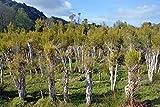 Australischer Teebaum - ca. 50 Samen