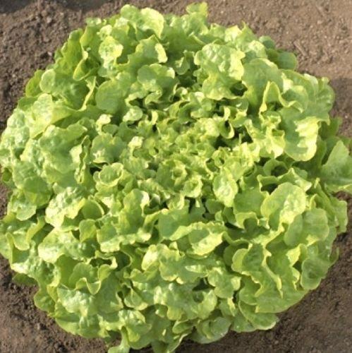 Laitue feuille de chêne semences, frisée semences, graines en vrac, Heirloom laitue semences 500ct