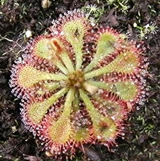 Best the sundew plant Reviews
