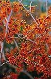 Orange Zaubernuss Aphrodite - Hamamelis intermedia Aphrodite - gelb-orange leuchtend winterblühend - Strauch mit angenehmem Duft - von Garten Schlüter