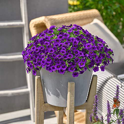 Pflanzen Kölle Zauberglöckchen, blau, 6er-Set, Topf 12 cm Ø