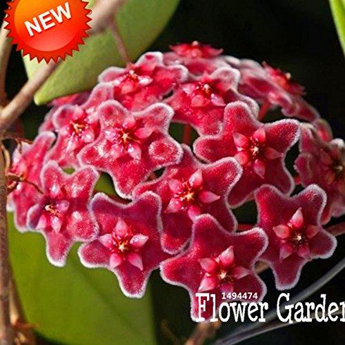 Big Sale! Hoya Graines, plantes en pot Fleurs Bonsai Hoya Seed, Orchid Seed DIY jardin 100 particules / Pack, # 4FNNI6
