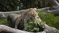 パズルピース大人500ピースライオンズ大型猫動物クリスマスプレゼント52x38cm