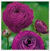ラナンキュラス 球根-多年生の八重咲き花の苗春の花,ワンダーホームレア,初心者に適しています,-20球根,1