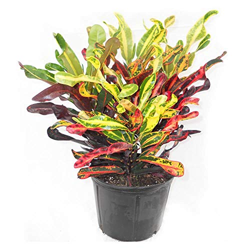 Croton Mammy - Live Plant in an 8 Inch Pot - Codiaeum 'Mammy' - Beautiful Clean Air Indoor Houseplant