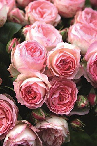 Kletterrose Mini Eden Rose wurzelnackt